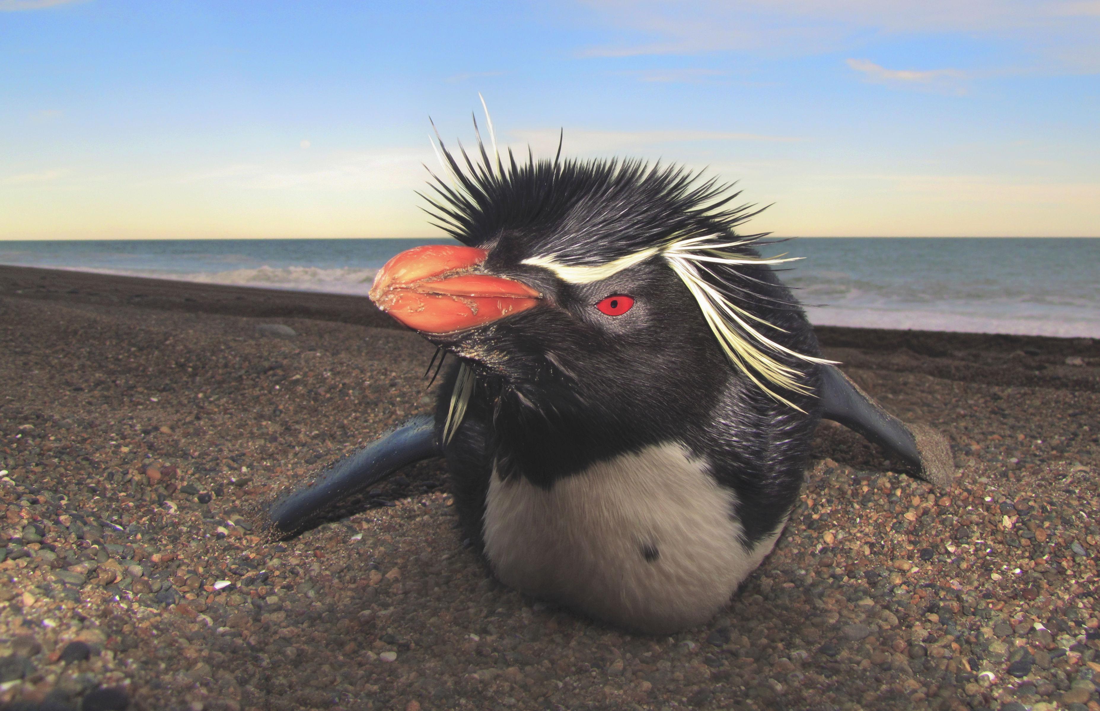 La reserva Burdwood II ayudaría a preservar a los pingüinos de penacho amarillo. | Foto Lyra Films
