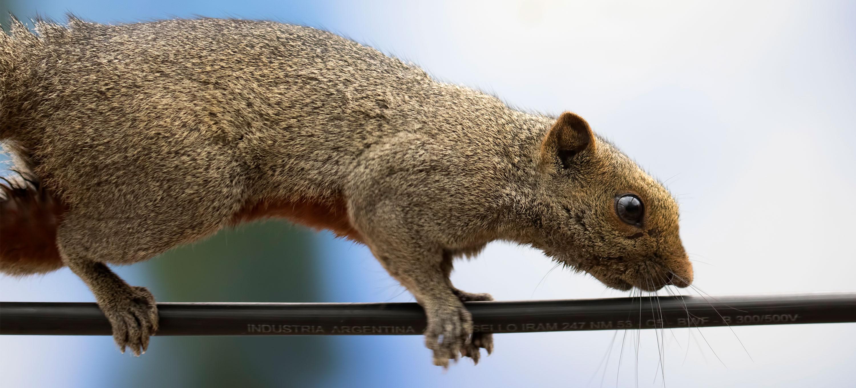 Biodiversidad y especies exóticas: cómo castores, ardillas y ranas arrasan economías regionales