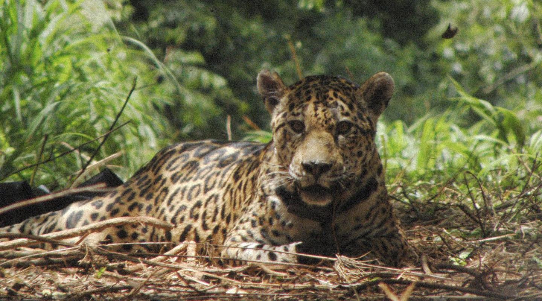 El retorno del yaguareté: el felino más grande de America está de vuelta en zonas de Chaco y Formosa