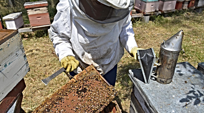 Salven a las abejas: en Finlandia desarrollan una vacuna comestible para protegerlas