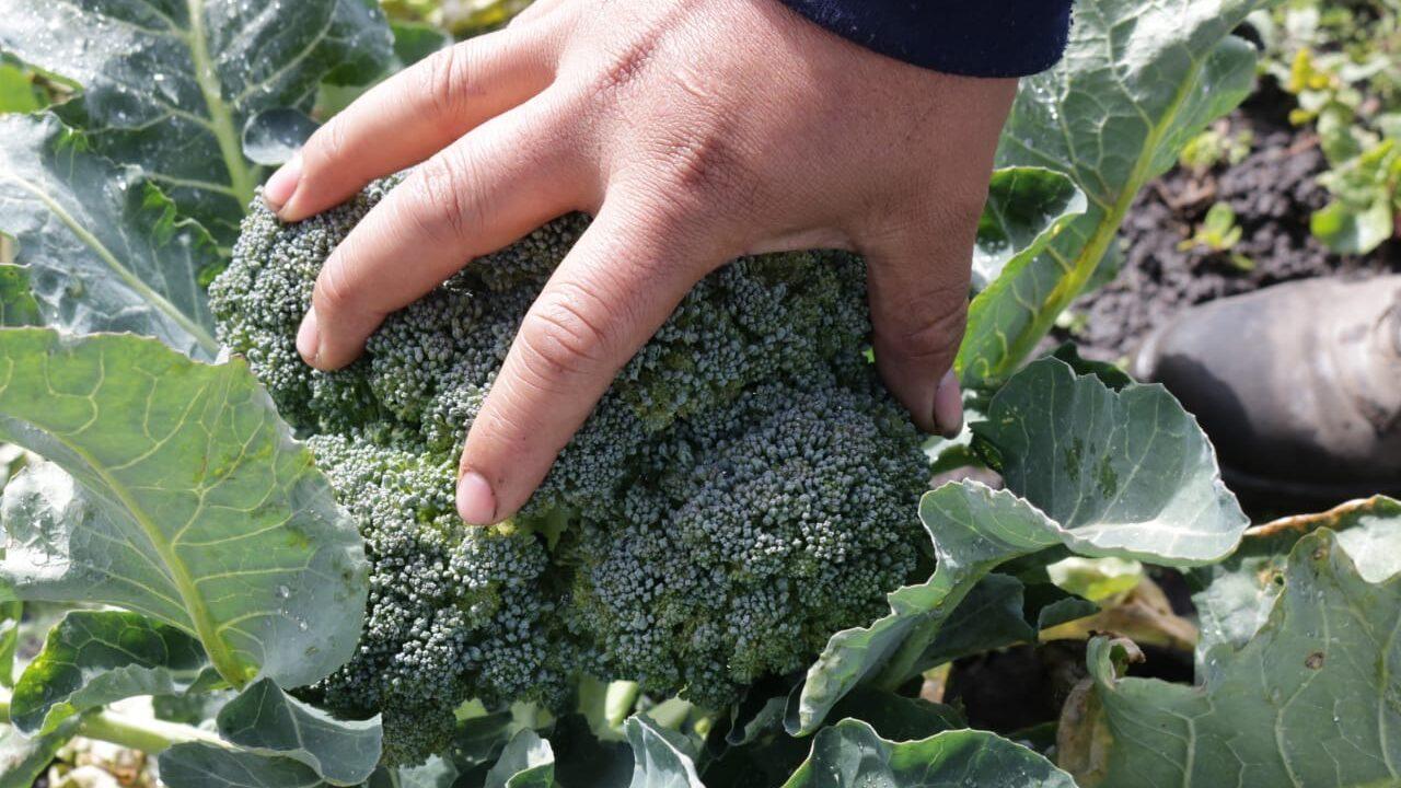 Una persona toma una planta de brocoli en una práctica de agroecología, una de las soluciones basadas en la naturaleza.