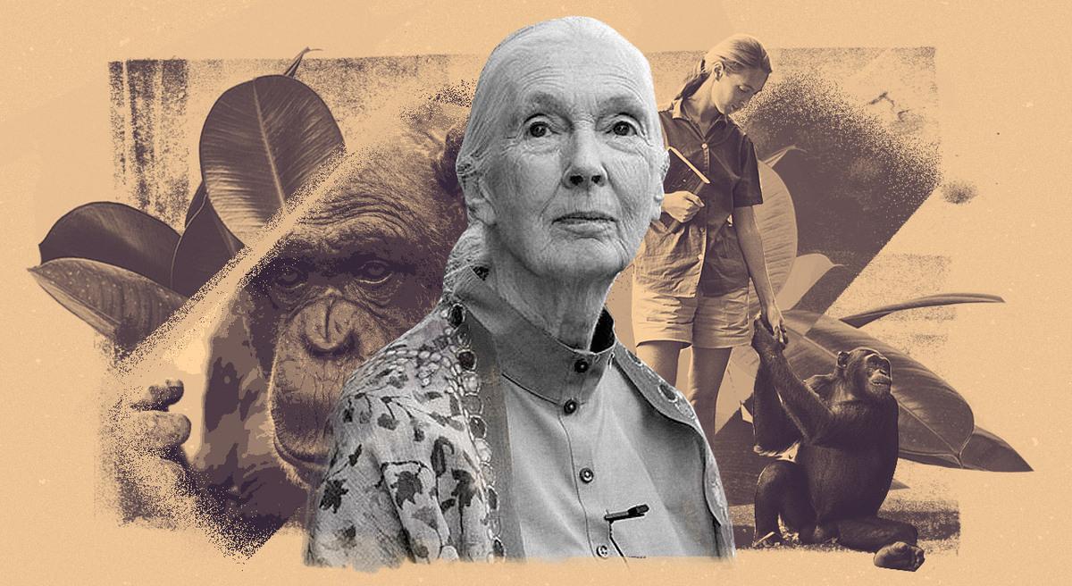 60 años en Gombe: Jane Goodall redefinió la ciencia, la conservación y el estudio de los chimpancés