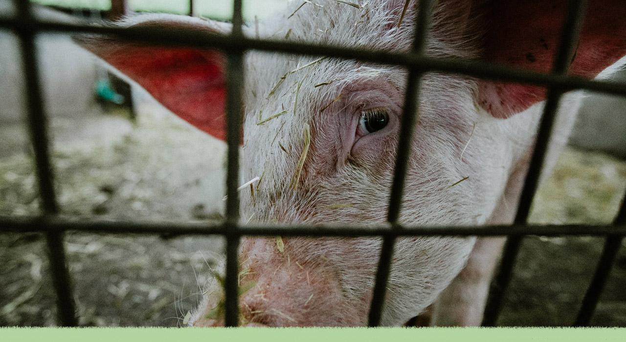 ¿Qué sabemos sobre el acuerdo entre Argentina y China para producir carne porcina?