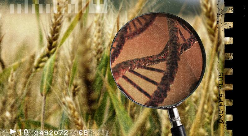 ¿Tecnología de vanguardia o agronegocio? Por qué debiera preocuparnos el trigo transgénico